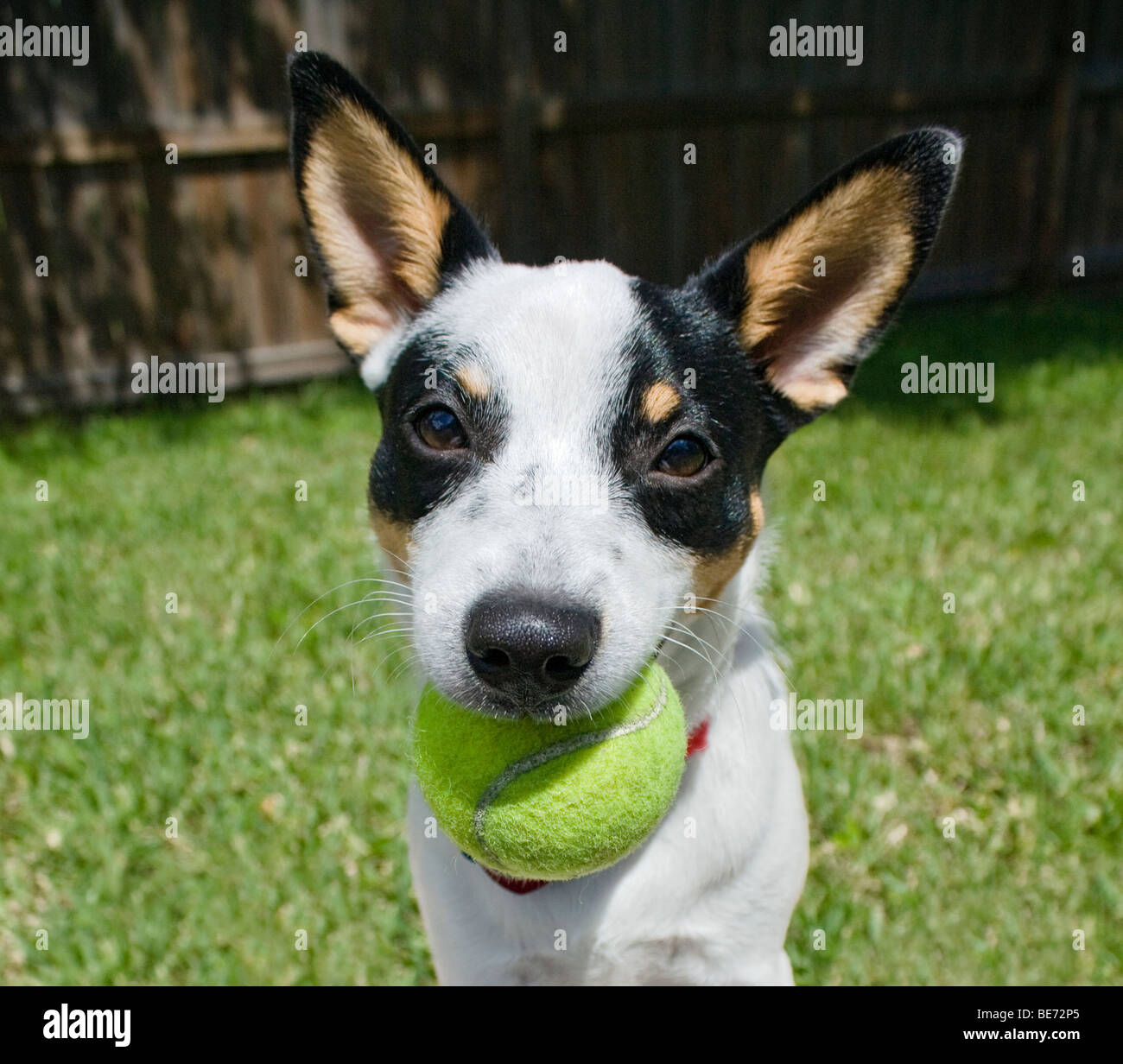 Rat Terrier puppy playing with tennis ball in a backyard - Stock Image
