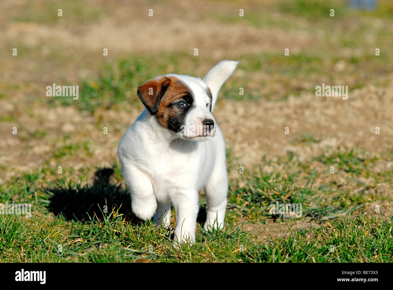 pictures of smooth fox terriers impremedianet