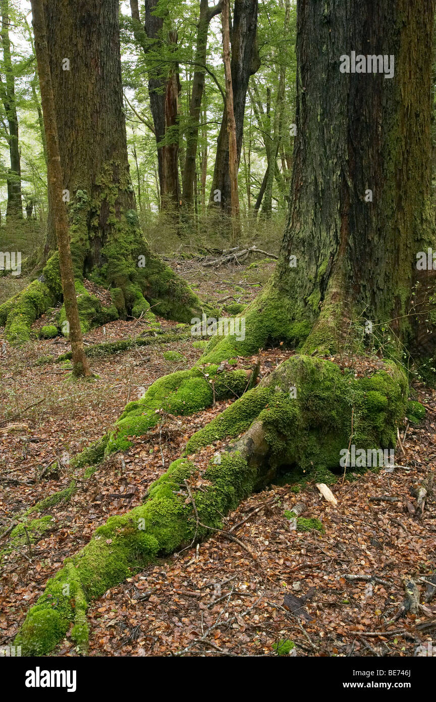 Beech Forest, Milford Road, Fiordland National Park, Fiordland, South Island, New Zealand - Stock Image