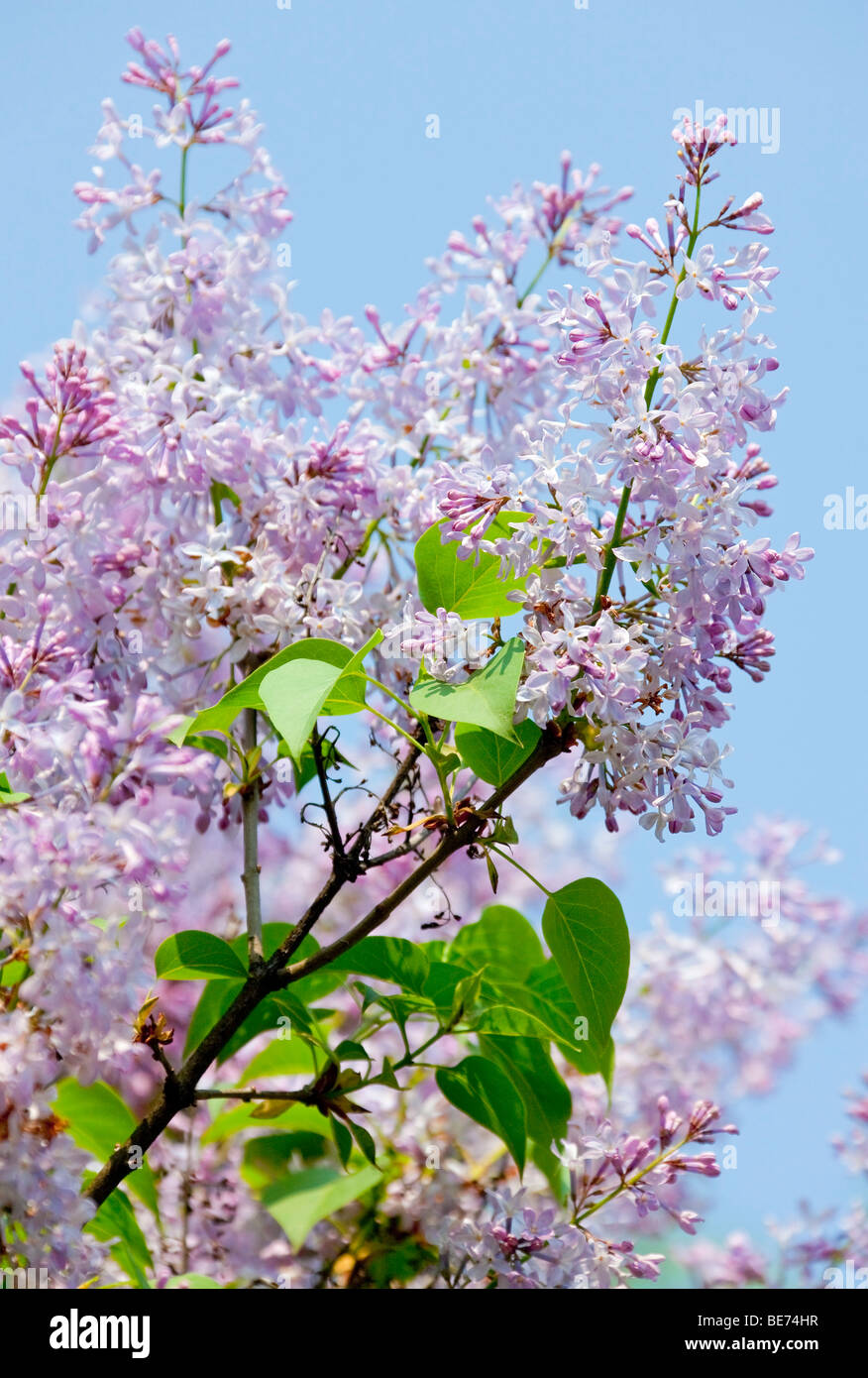 Lilac (Syringa), purple flowering - Stock Image