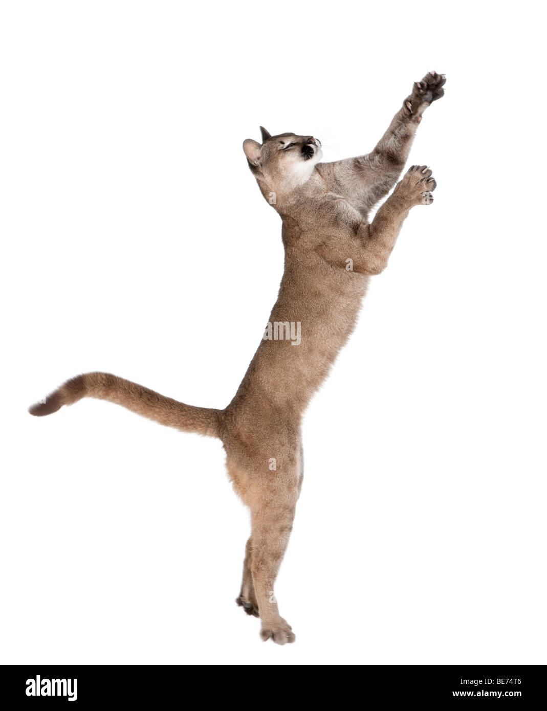 Puma cub, Puma concolor, 1 year old, leaping against white background, studio shot - Stock Image