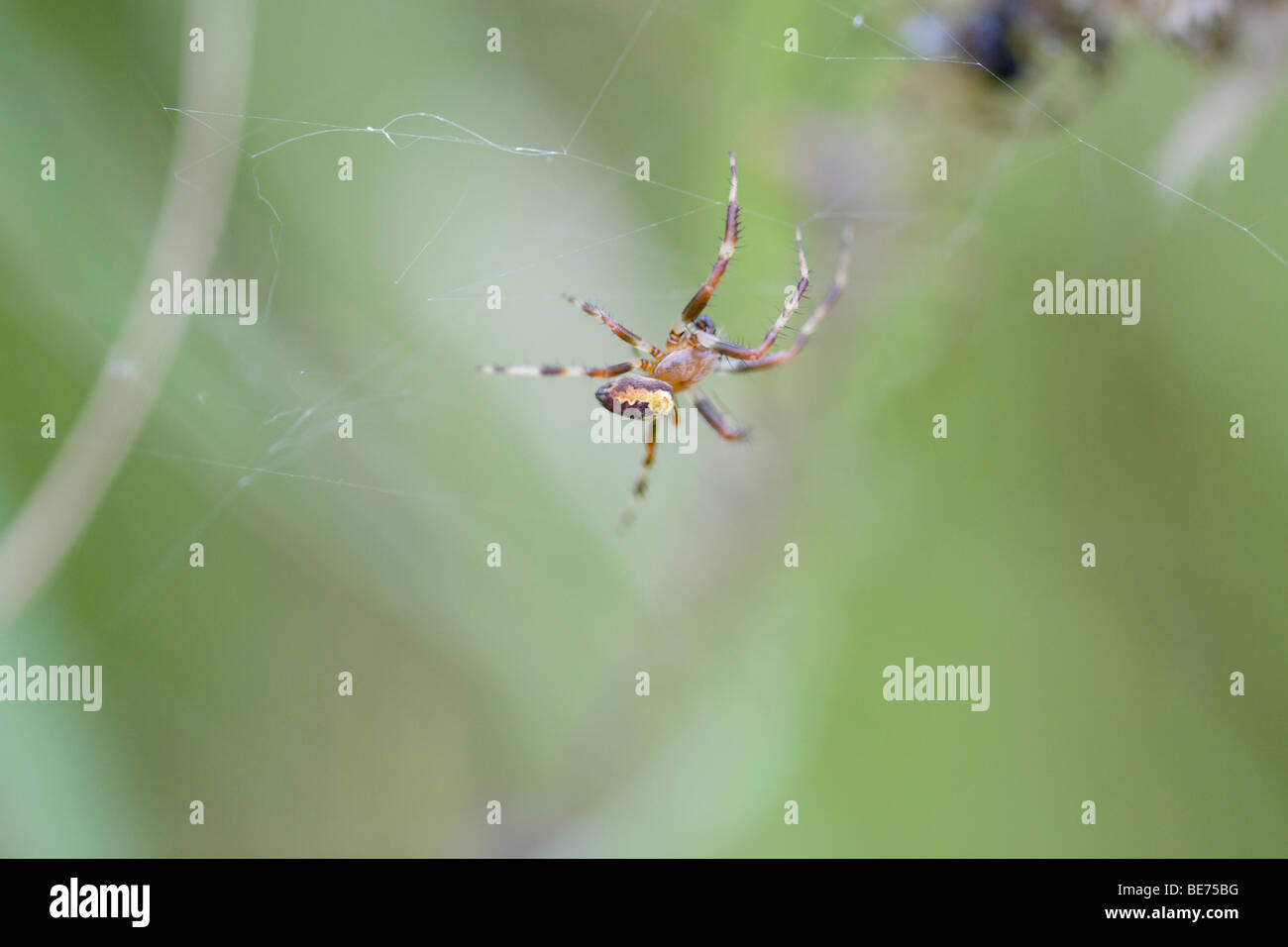 Walnut Orb Weaver spider Nuctenea umbratica, in web. - Stock Image
