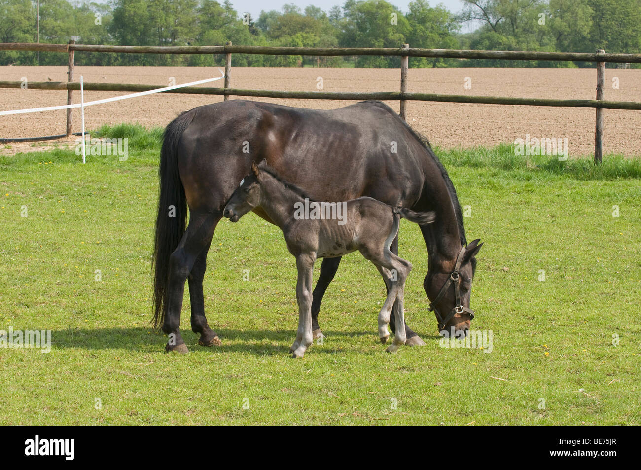 Mare with 2 days old foal at pasture - Stock Image