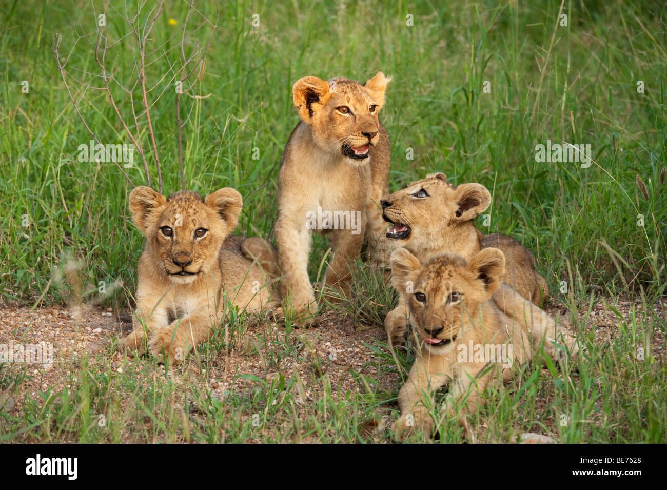 Lion cubs (Panthero leo), Kruger National Park, South Africa Stock Photo