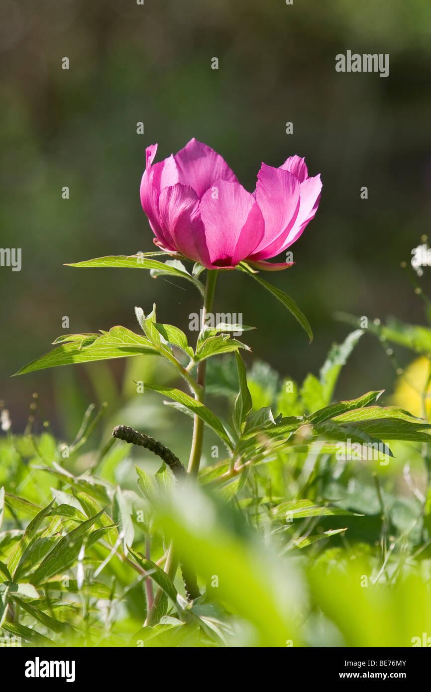 Common Peony (Paeonia officinalis) Stock Photo