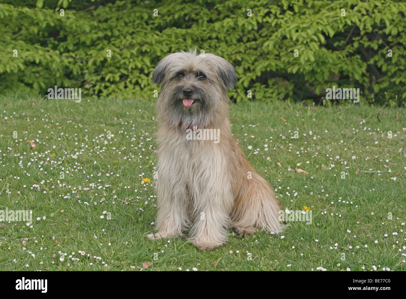 Pyrenean Shepherd, sitting on a lawn - Stock Image