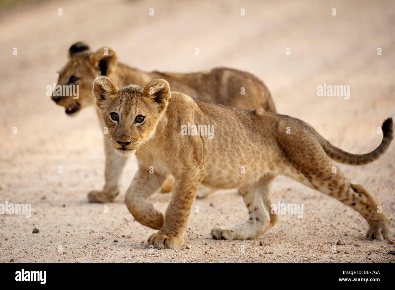 Lion cub (Panthero leo), Kruger National Park, South Africa Stock Photo