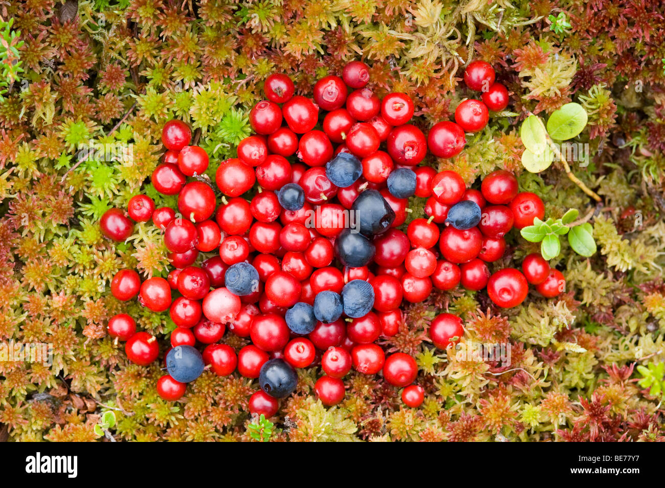 Wild food. Red berries/ fruits of Cowberry, or Lingonberry ...