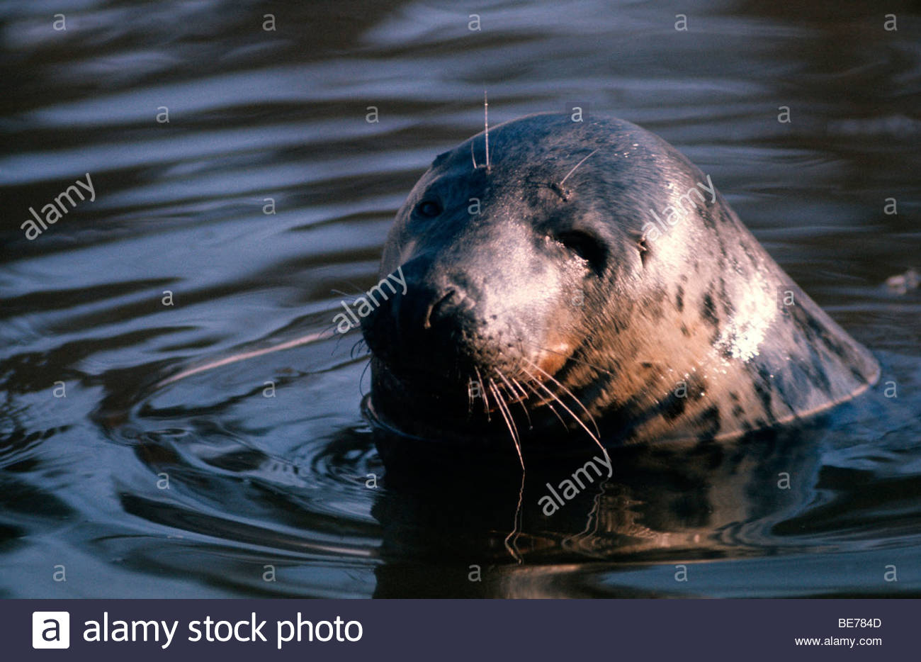 Close-up of a seal in water Stock Photo