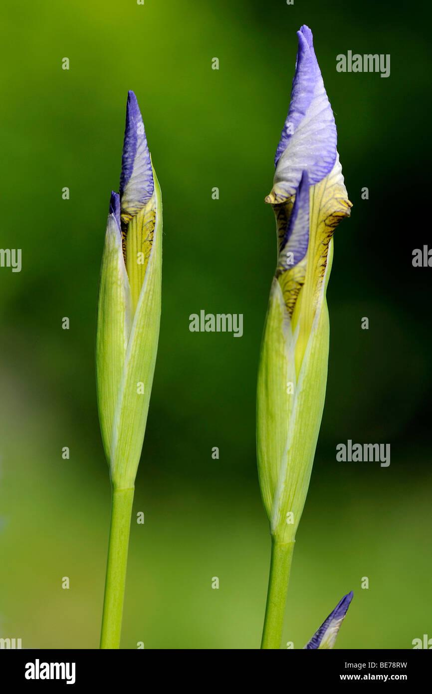 Unopened flowers of the Siberian Iris (Iris sibirica), Fischbachau, Bavaria, Germany, Europe - Stock Image