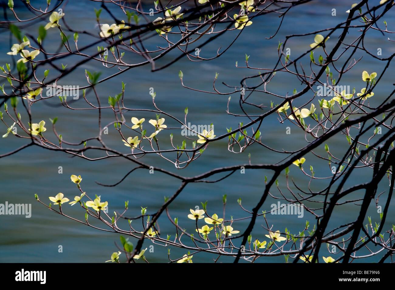 Dogwood Trees Stock Photos Amp Dogwood Trees Stock Images