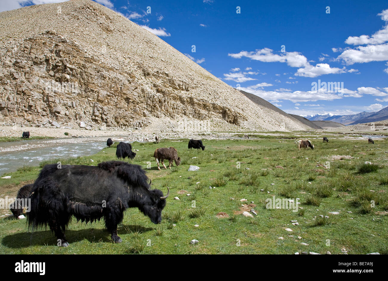 Yaks. Rupsu Valley. Ladakh. India - Stock Image