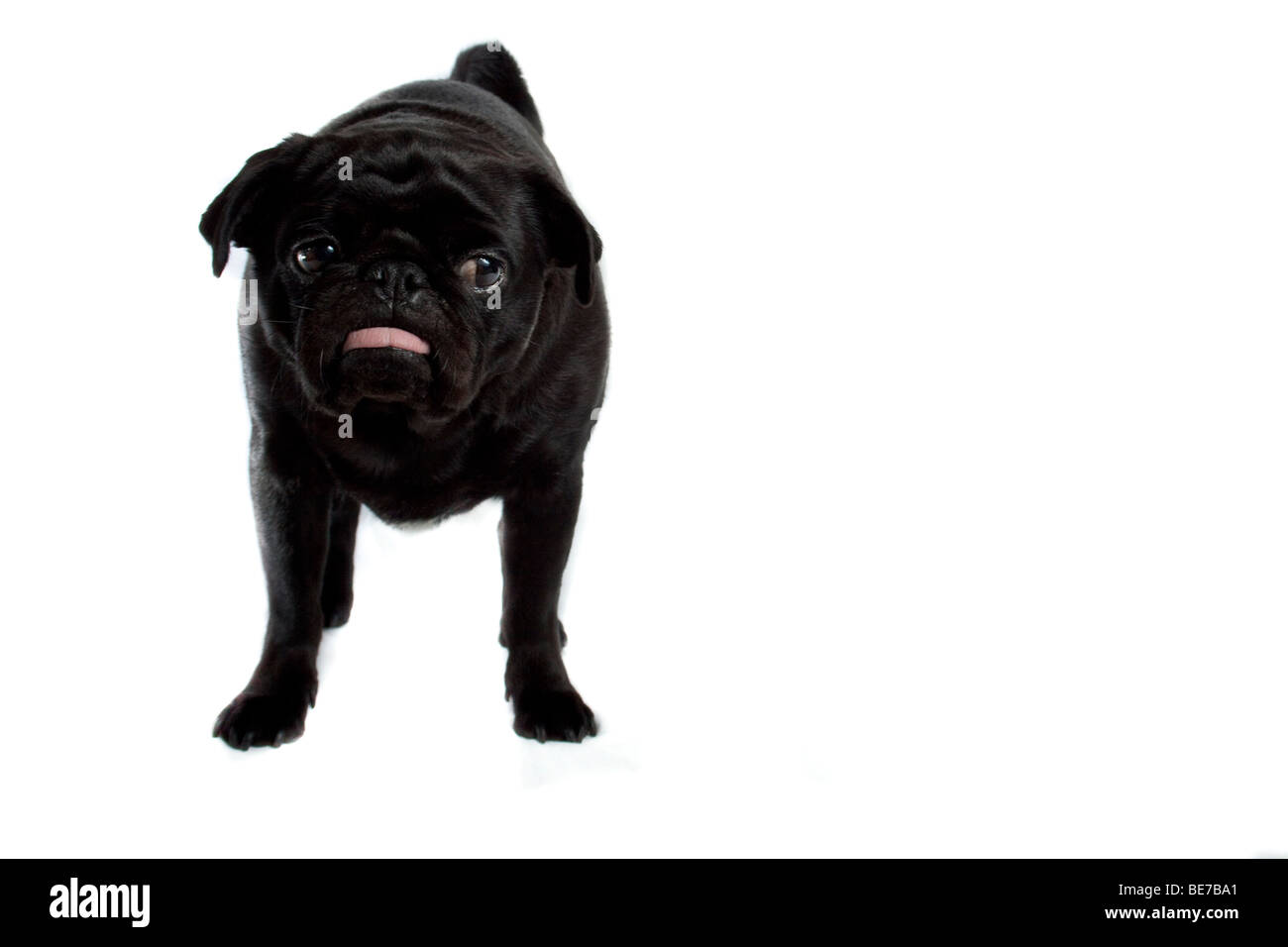 Fed up looking Pug - Stock Image
