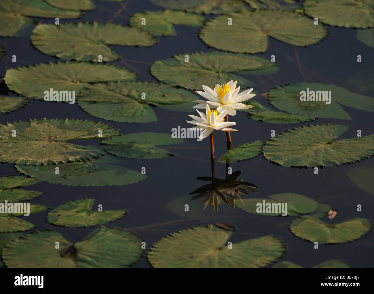 White Lilies in a pond surrounded by its leaves Stock Photo