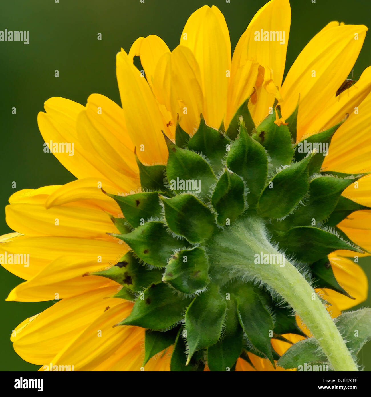 Painting effect on Close-up of the Back of a Sunflower Head - Stock Image