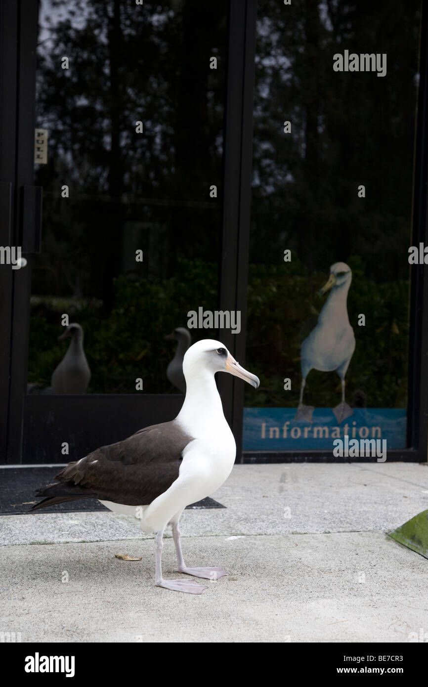 Laysan Albatross beside information poster showing albatross in visitor centre, Midway Atoll - Stock Image