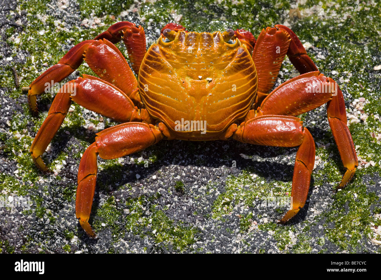 Sally Lightfoot Crab (Grapsus grapsus) in Galapagos National Park - Stock Image