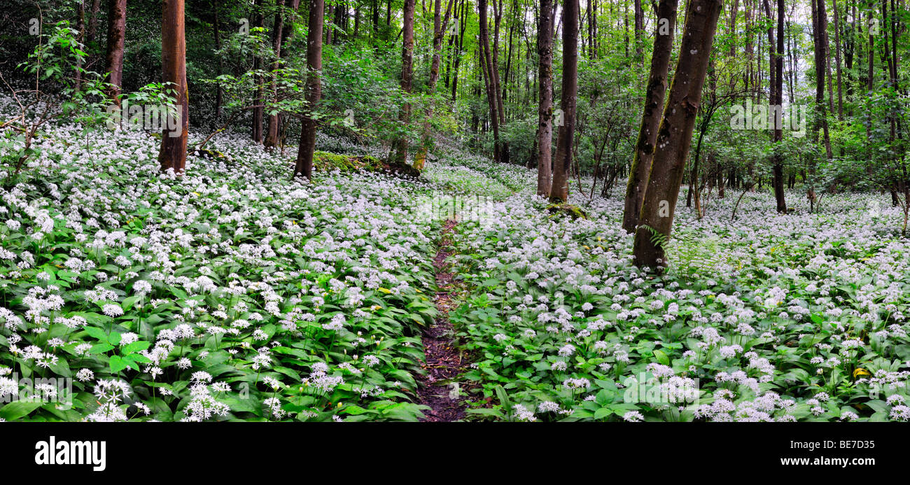 Blossoming Ramson field (Allium ursinum) in a forest, Germany, Europe Stock Photo