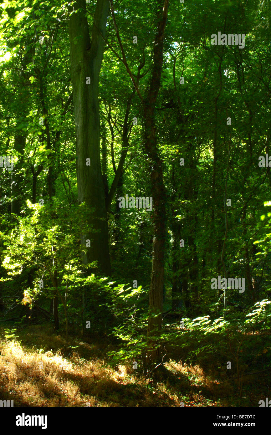 Dappled sunlight filtering through trees in Tinkers Wood, High Wycombe, Buckinghamshire, United Kingdom - Stock Image