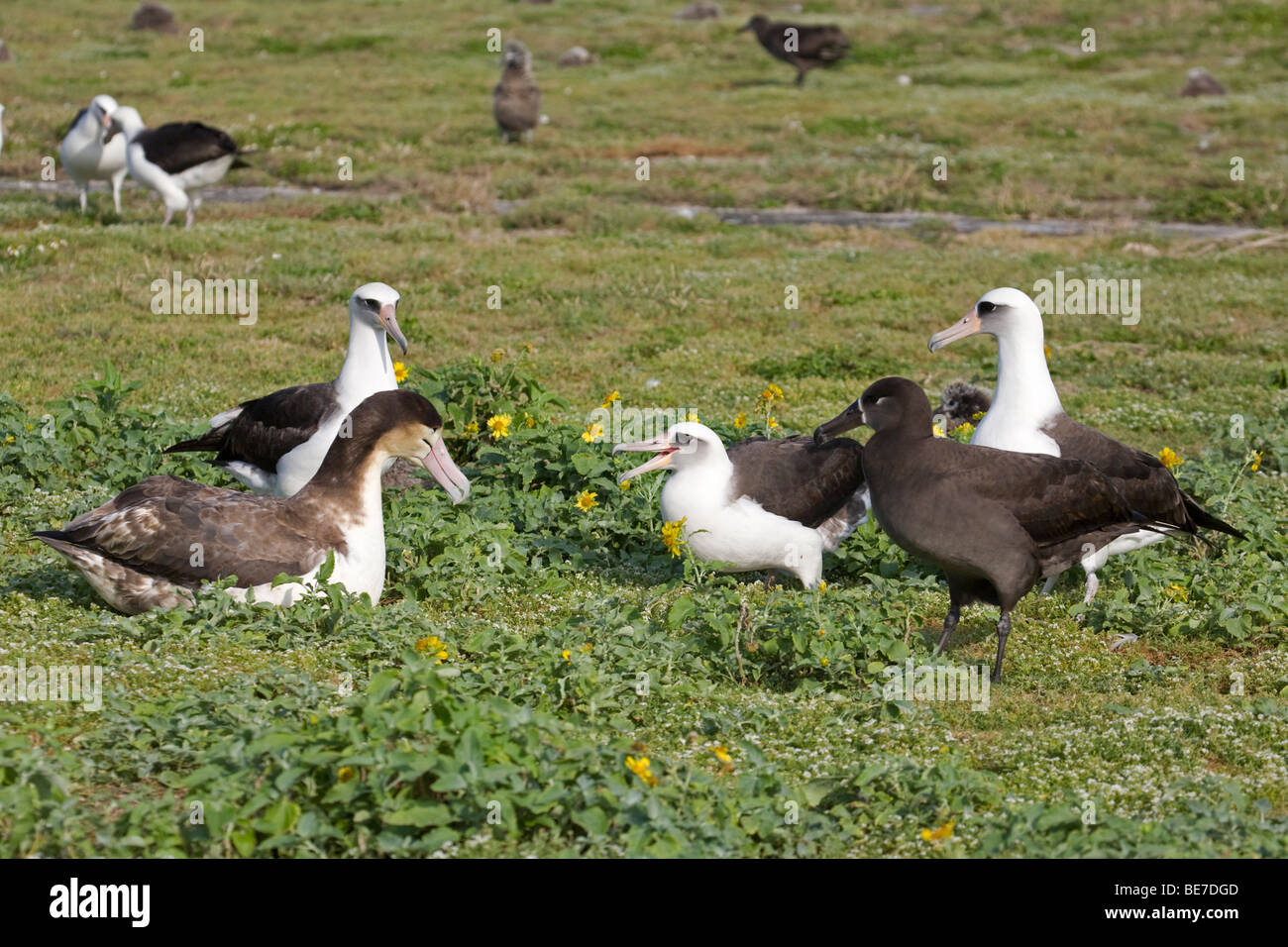 Courtship interaction among subadult Short-tailed Albatross, Laysan Albatross and Black-Footed Albatross, Midway - Stock Image