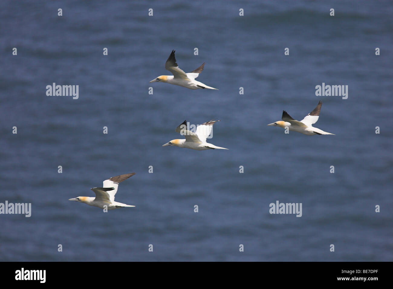 Northern Gannets Morus bassanus in flight at Bempton Cliffs, Yorkshire, UK in June. - Stock Image