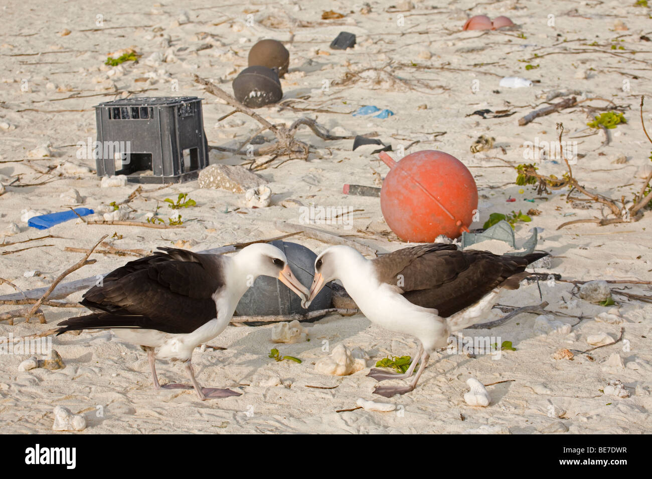 Laysan Albatross pair courting with marine debris on beach in background, Midway Atoll - Stock Image