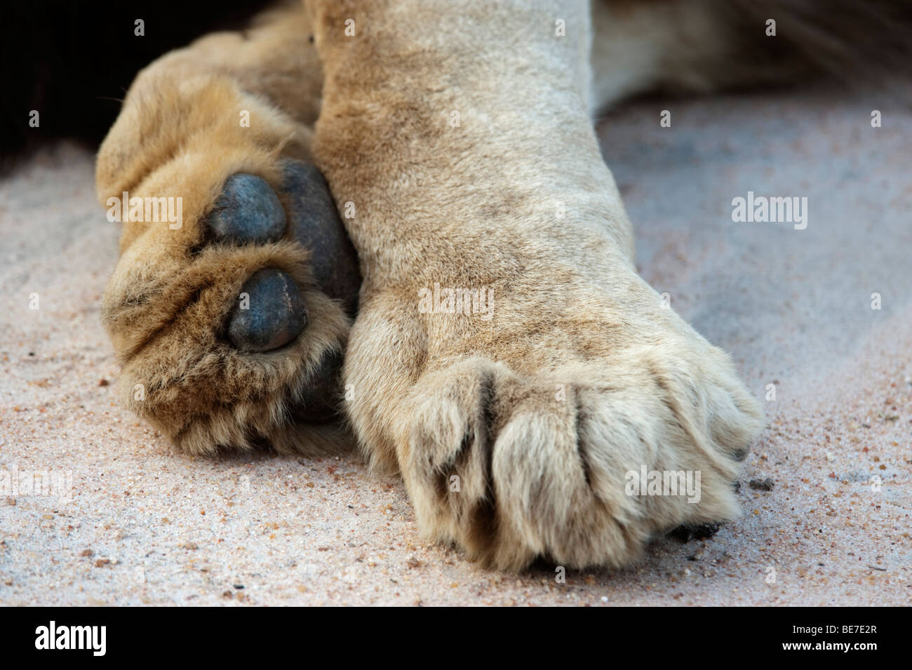 lion paw stock photos lion paw stock images alamy