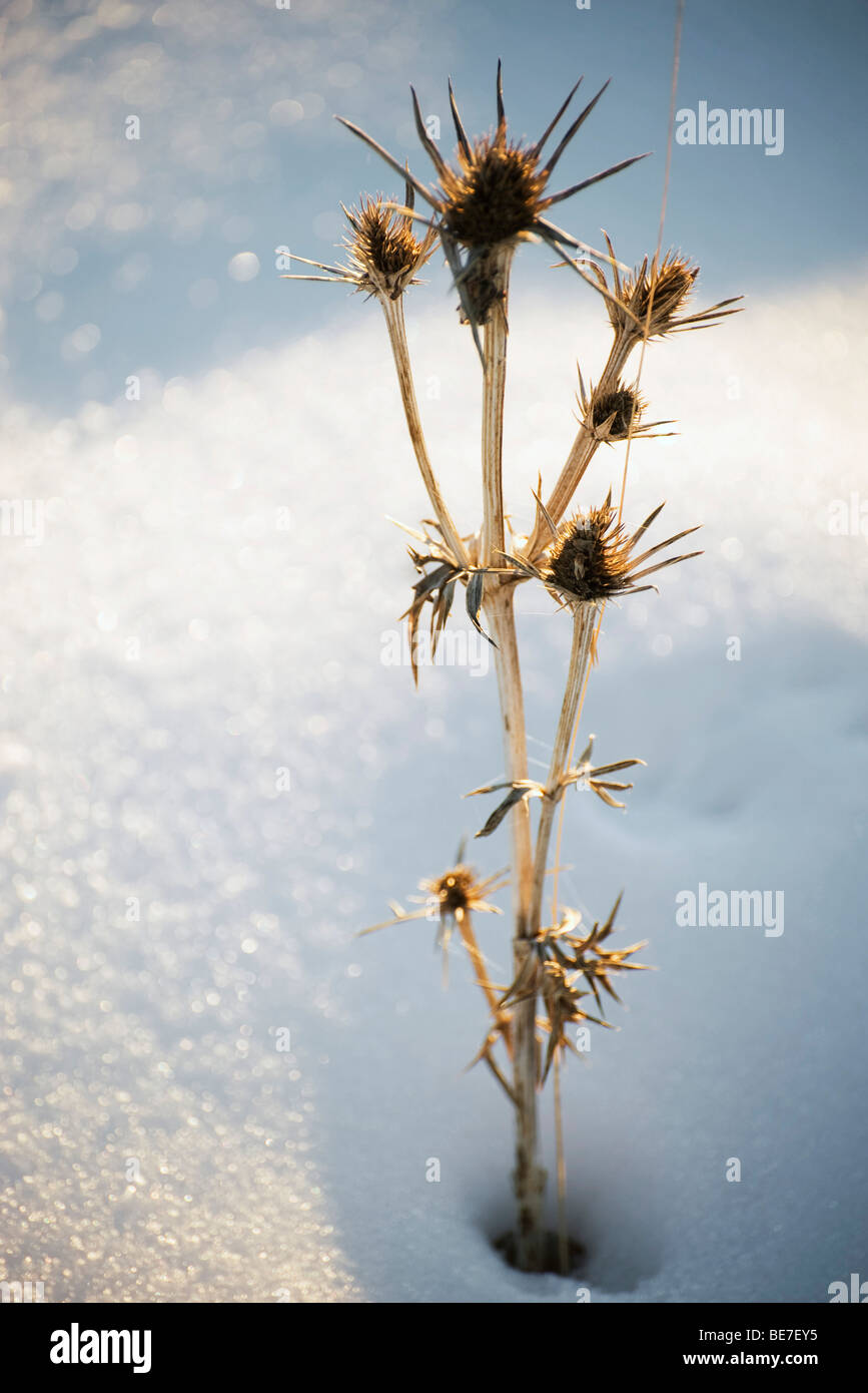 Dead thistle in snow - Stock Image