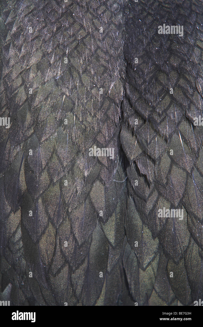European Shag Phalacrocorax aristotelis close-up of wing and back feathers in Northumberland, UK in June. - Stock Image
