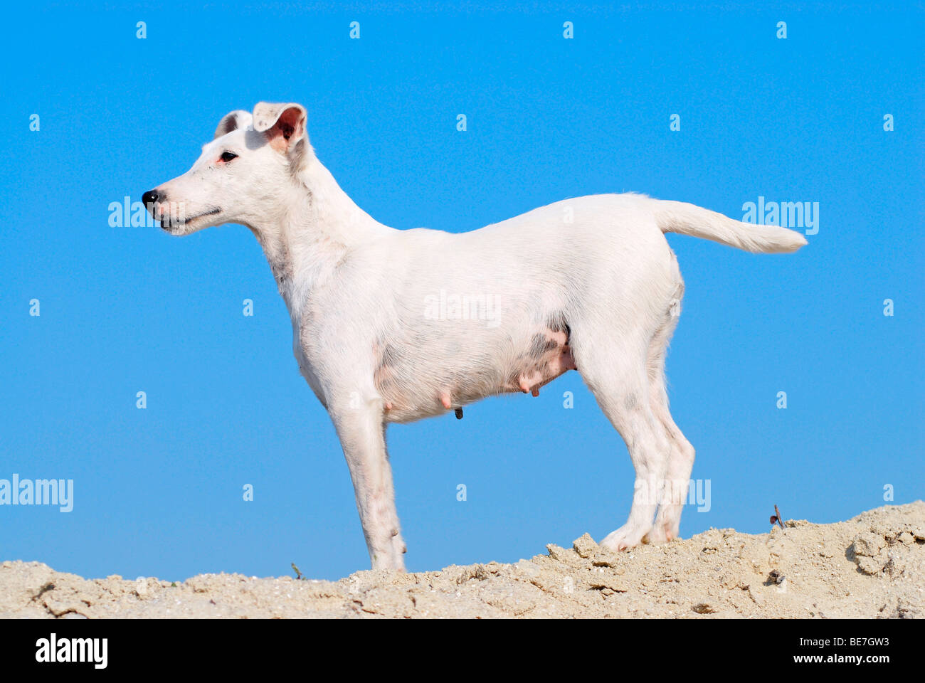 Smooth Fox Terrier Stock Photos & Smooth Fox Terrier Stock Images ...