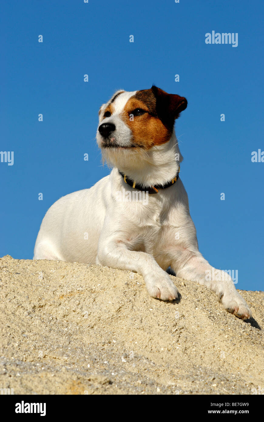 Jack Russell Laying Down Stock Photos & Jack Russell Laying Down ...