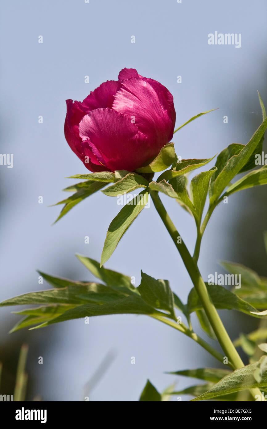 Peony (Paeonia officinalis) Stock Photo
