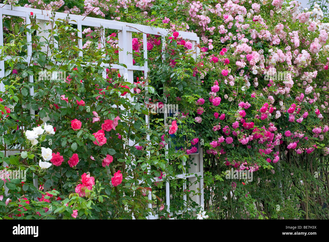 Climbing roses on arbor at Heirloom Gardens, St. Paul, Oregon - Stock Image