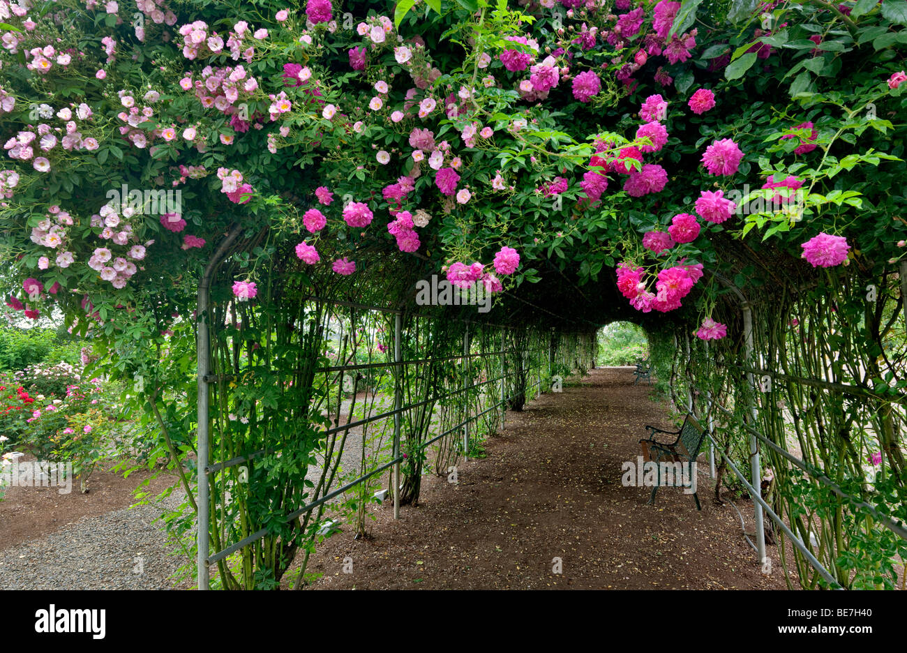 Tunnel through climbing roses. Heirloom Gardens. St. Paul, Oregon - Stock Image