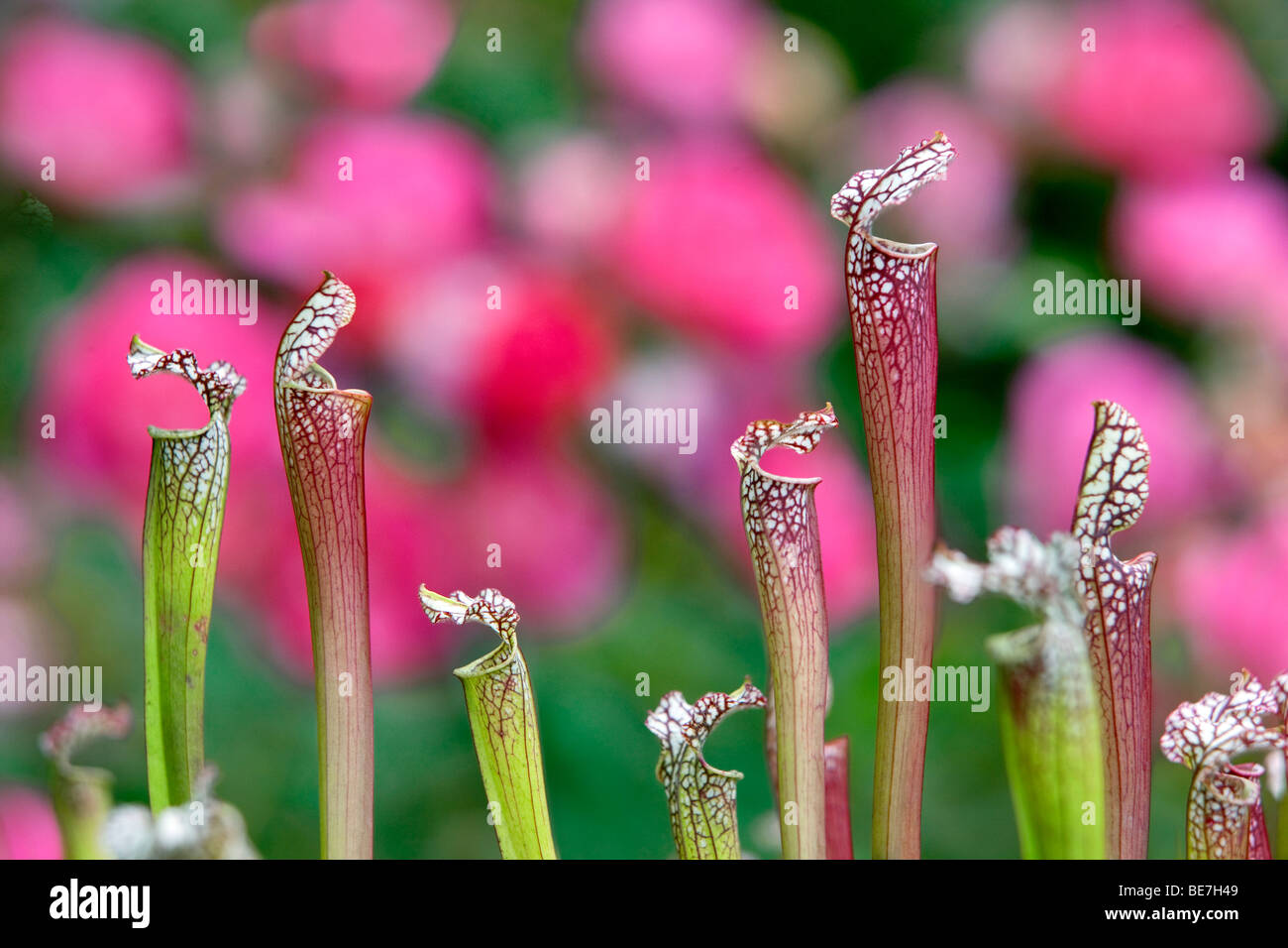 Pitcher Plant (Sarracenia), Hughes Water Gardens. Oregon - Stock Image