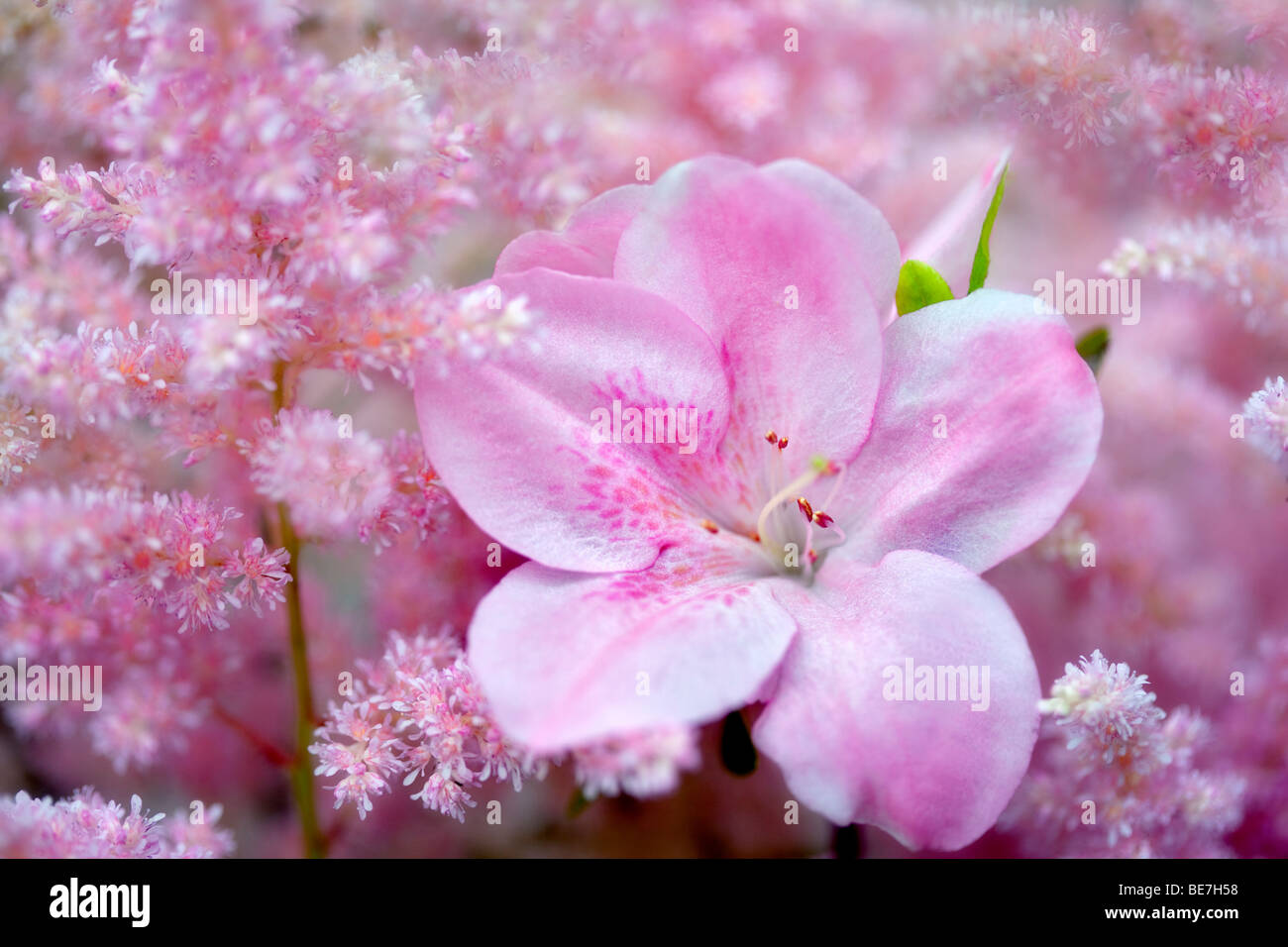 Rhododendron and Astilbe blossoms close up. Oregon Stock Photo
