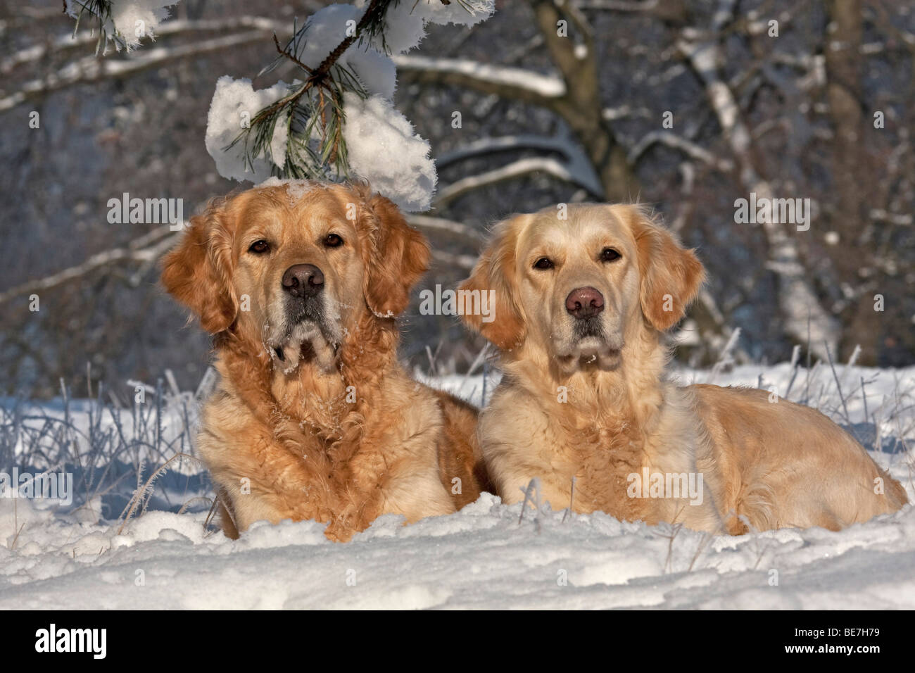 Two Golden Retrievers lying in the snow - Stock Image