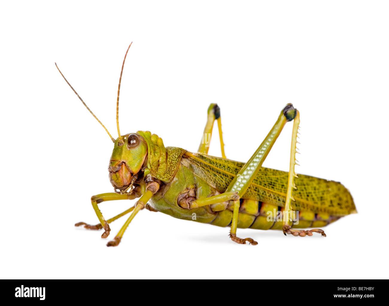 Side view Giant guianas locust, Tropidacris collaris, against white background, studio shot Stock Photo