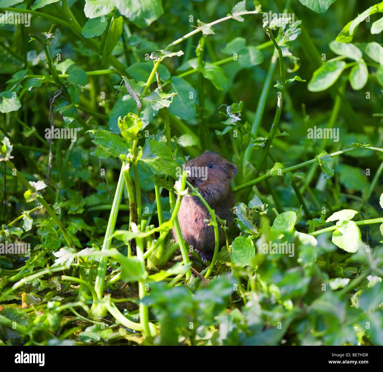 Water Vole - Arvicola terrestris - Stock Image