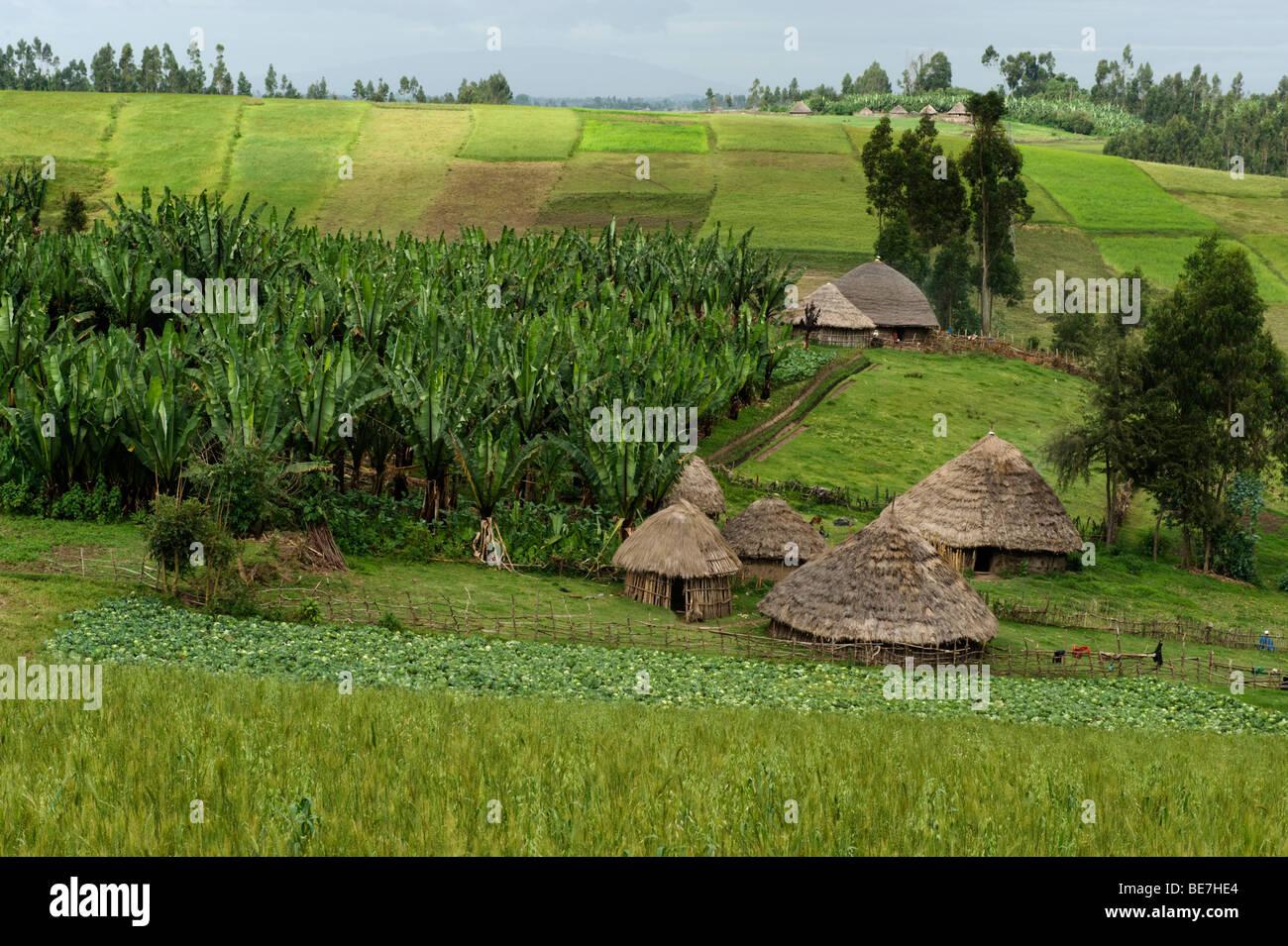 tef farming near Dodola, Ethiopia - Stock Image