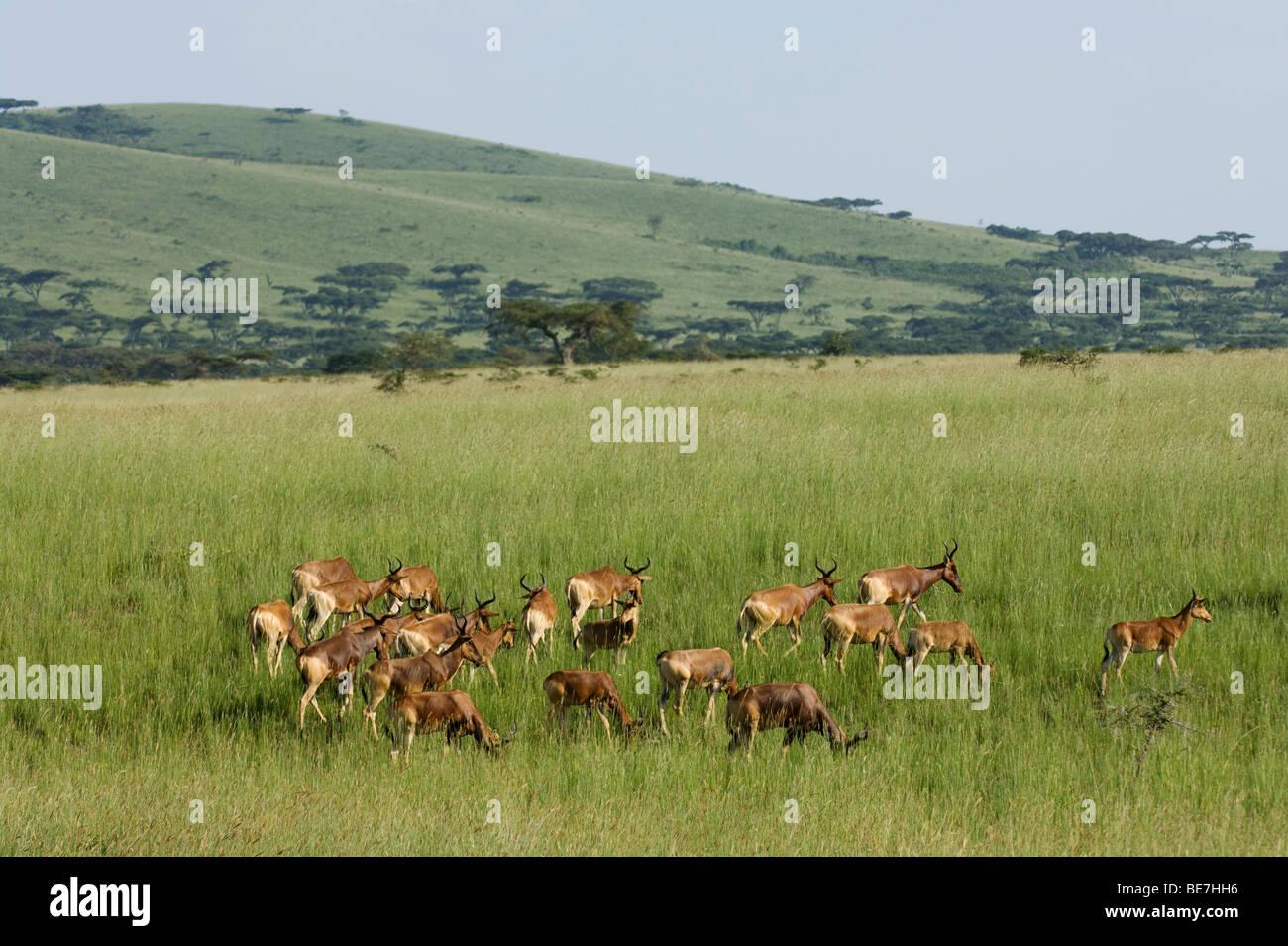 Swayne's hartebeest (Alcelaphus buselaphus swaynei), Senkele Game sanctuary, Ethiopia Stock Photo