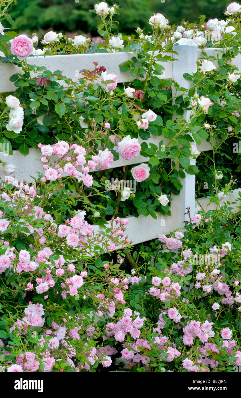 Tropical Twist Miniature Rose and larger Eden Rose on fence at Heirloom Gardens, St. Paul, Oregeon - Stock Image