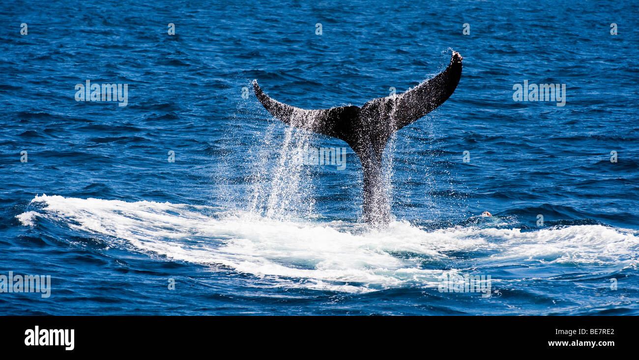 """""""Humpback whale slapping its tail."""" """"( B / W Image = search Alamy  BE7RAE )"""" Stock Photo"""