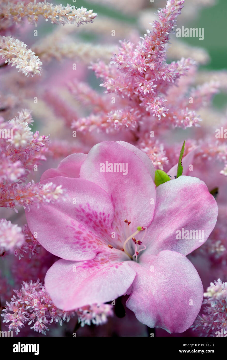 Rhododendron and Astilbe blossoms close up. Oregon - Stock Image