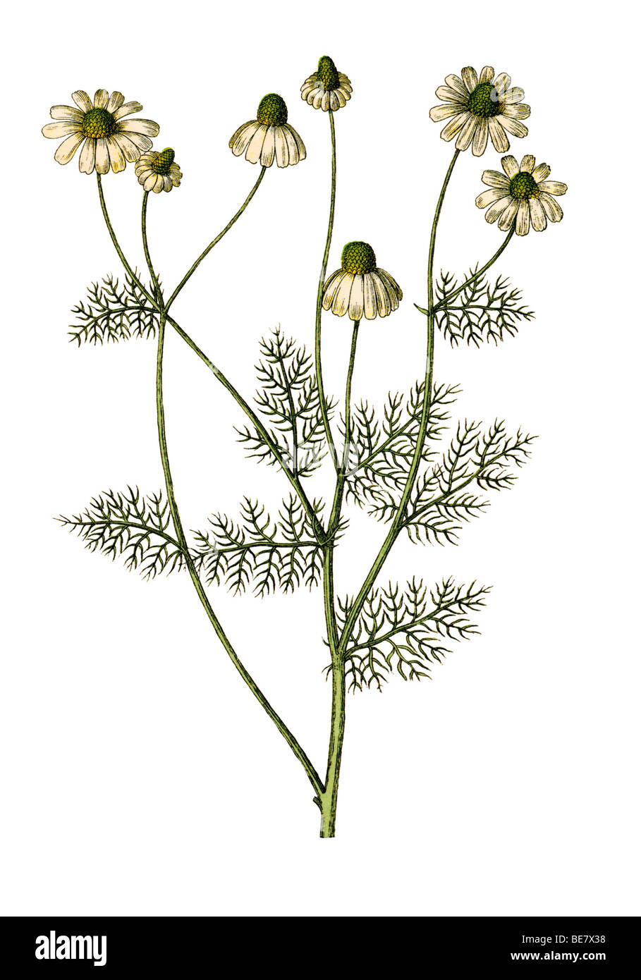 Chamomile, historical illustration from: Moritz Willkomm: Naturgeschichte des Pflanzenreichs, Natural history of Stock Photo