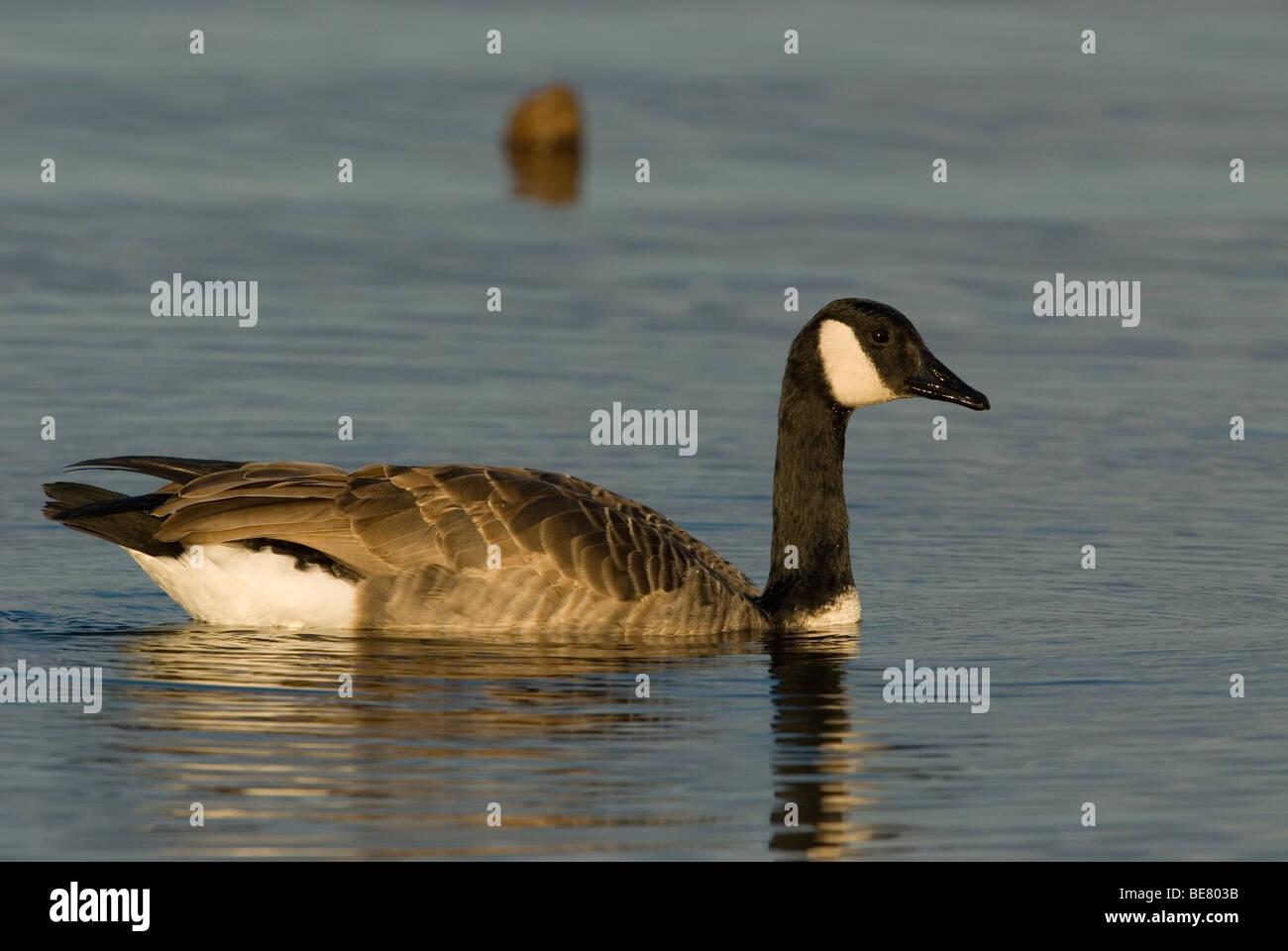 Een zwemmende Canadese Gans,A swimming Canada Goose. Stock Photo