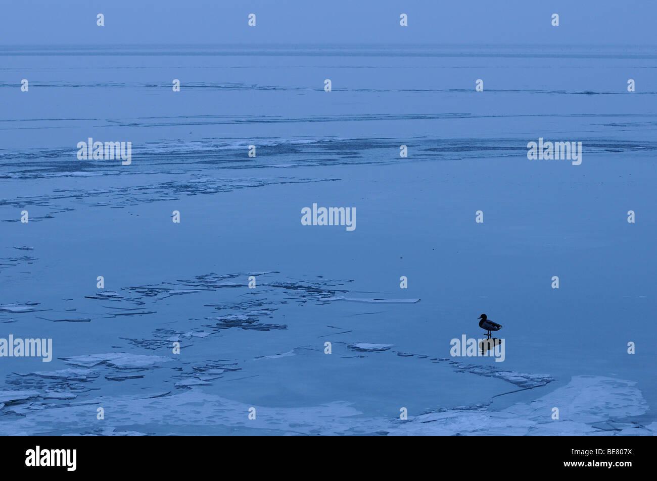 Solitaire wilde eend staand op ijsvlakte, Solitary mallard standing on ice plain - Stock Image