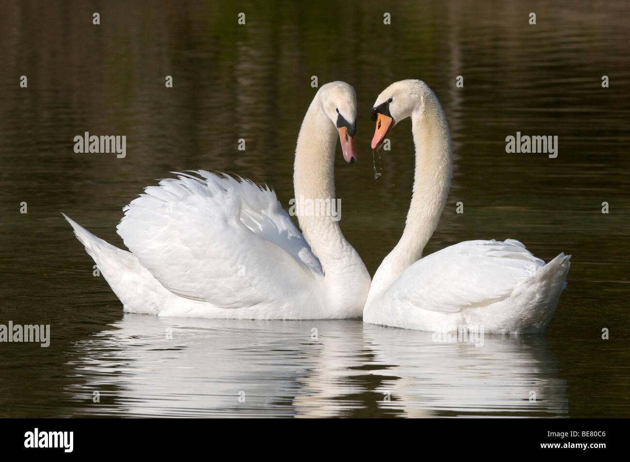 Mute Swans (Cygnus olor) Stock Photo