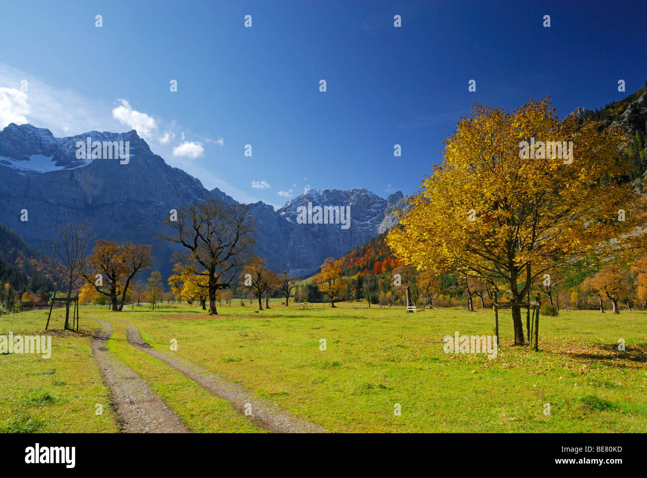 Track between maple trees in autumn colours with view to Spritzkarspitze, Grosser Ahornboden, Karwendel, Tyrol, - Stock Image