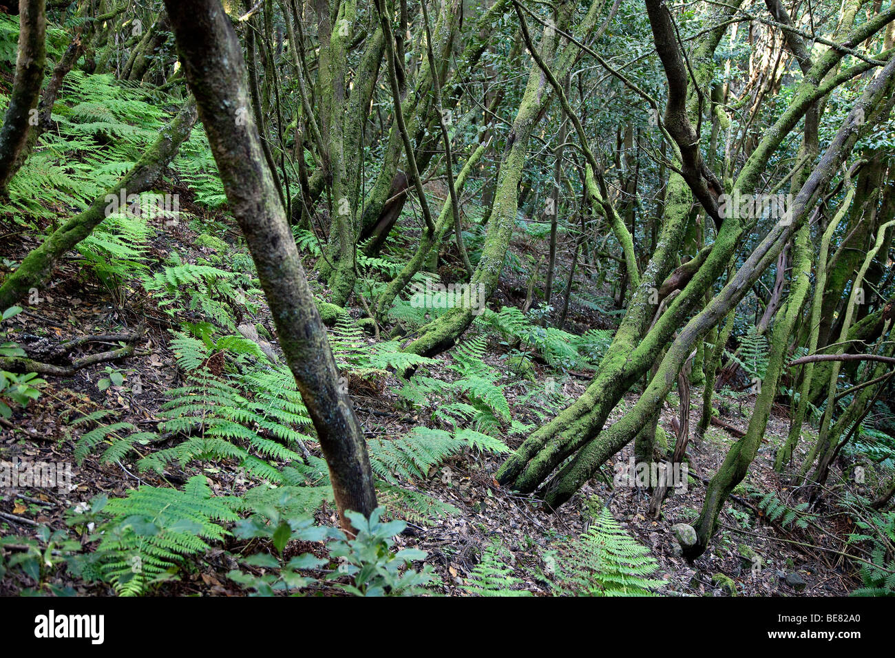 Thick laurel forest at Garajonay National Park, La Gomera, Canary Islands, Spain, Europe - Stock Image